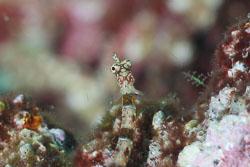 BD-111124-Raja-Ampat-5266-Corythoichthys-amplexus.-Dawson---Randall.-1975-[Brown-banded-pipefish].jpg